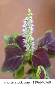 "Blooming coleus plant ""Giant Exhi­bition Magma""with violet - white flowers,  bicolor purple - green foliage, Plectranthus scutellarioides, Solenostemon scutellarioides"