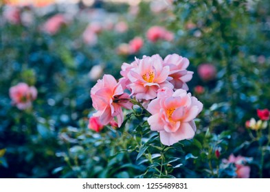 Blooming colorful roses on a bush