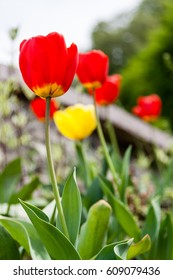 Blooming with colorful tulips
