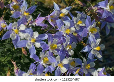 Blooming columbine in Colorado's Rocky Mountains