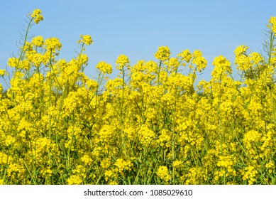 Blooming colza flowers in a colza field in Poland. Yellow colza flower. Rape flower on rapeseed.