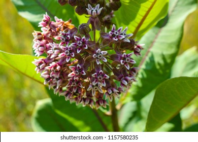 Blooming Common milkweed or butterfly flower close up, colorful and vivid plant, natural background.