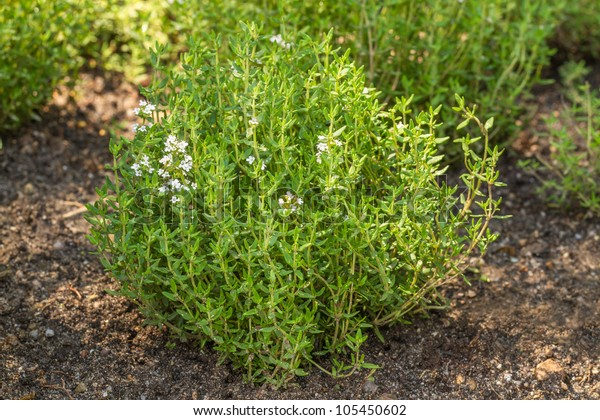 Blooming Common Thyme (Thymus vulgaris)