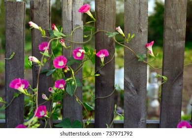 Blooming Convolvulus spread out across the wooden fence near Grabovka village, Gomel, Belarus.