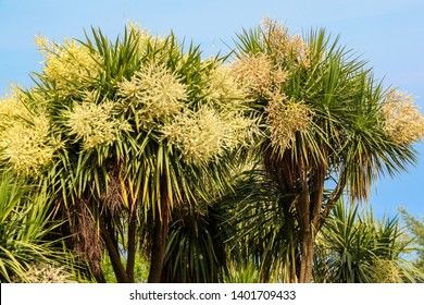 Blooming Cordyline australis trees (cabbage tree, cabbage-palm) in park
