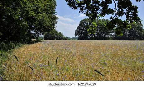 Blooming cornflowers in rye field. Wildflowers return in crop fields if farmers use less fertilizer.