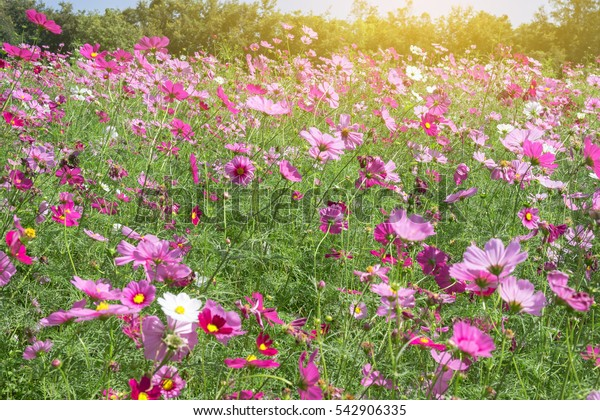 Blooming Cosmos flower in field on sunrise.