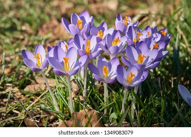 blooming crocuses in a park in spring