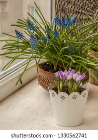Blooming crocuses Pickwick  against a muscari on the window