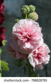 Blooming cultivar common hollyhock (Alcea rosea 'Peaches 'n Dreams') in the summer garden