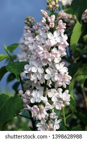 Blooming cultivar common lilac (Syringa vulgaris 'Krasavitsa Moskvy') in the spring garden