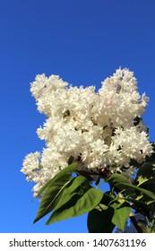 Blooming cultivar common lilac (Syringa vulgaris 'Krasavitsa Moskvy') against a blue sky in the spring garden