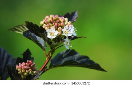 Blooming cultivar common ninebark (Physocarpus opulifolius 'Summer Wine') in the summer garden