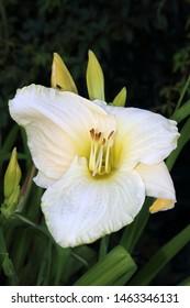 Blooming cultivar daylily (Hemerocallis sp. 'White Temptation') in the summer garden