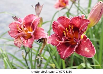 Blooming cultivar daylily (Hemerocallis sp. 'Always Liberty') in the summer nursery