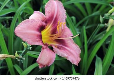 Blooming cultivar daylily (Hemerocallis sp. 'Purple Bicolor') in the summer garden