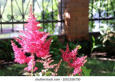 Blooming cultivar false spirea  (Astilbe japonica 'Montgomery') in the summer garden