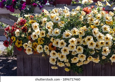 Blooming cultivar hybrid petunias (Petunia × atkinsiana) in the summer garden