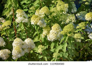 "Blooming cultivar Hydrangea paniculata ""Vanille Fraise"" in the summer garden"