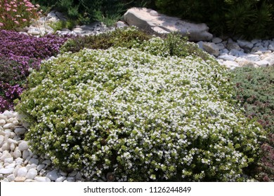 Blooming cultivar mother of thyme (Thymus praecox 'Albiflorus') in the summer rockery