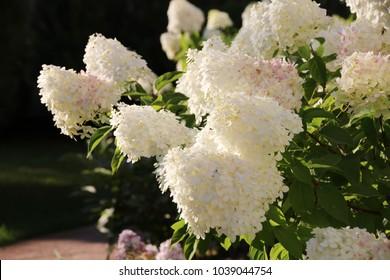 Blooming cultivar panicled hydrangea (Hydrangea paniculata) in the summer evening garden