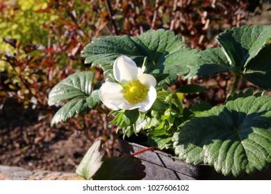 Blooming cultivar remontant garden strawberry (Fragaria viger 'Elan White') in the summer garden