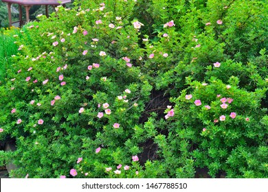 "Blooming cultivar shrubby cinquefoil (Dasiphora fruticosa ""Lovely Pink"") in garden with pink flowers - natural summer background. Decorative plants in landscape design, gardening, floriculture concept"