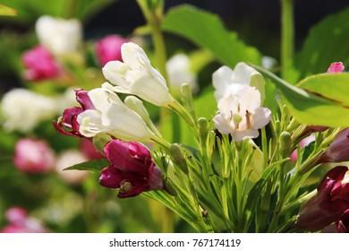 Blooming cultivar weigela (Weigela florida 'Marjorie') in the summer garden