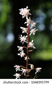 Blooming cultivar x Heucherella 'Quicksilver' in the summer garden