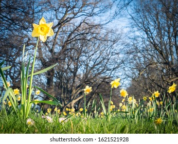 Blooming daffodils field in Hagley Park in Christchurch, New Zealand