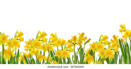 blooming daffodils isolated on white background