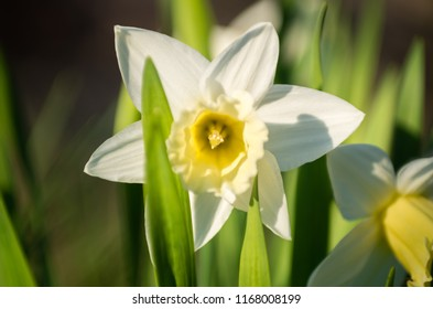 Blooming Daffodils in the sun
