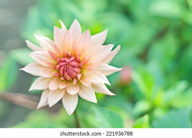 Blooming Dahlia flower in pastel colors. Close up shot