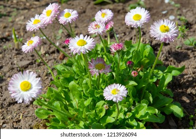 Blooming daisies (lat. Bellis perennis) in the garden