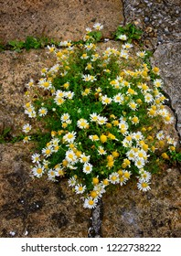 Blooming daisy bush growing among the cracks in the stone pavement.