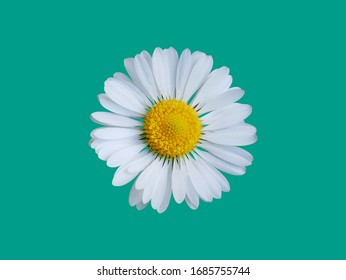 Blooming daisy on flat background