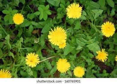 Blooming Dandelion in garden