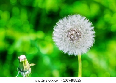 Blooming dandelion on a meadow