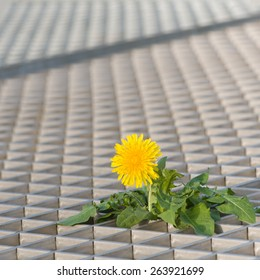 Blooming dandelion plant growing through floor grilles, where there's a will there's a way, lonesome fighter