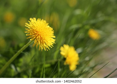 Blooming dandelion, spring flowers on green grass. Background for spring weather, meadow with dandelions