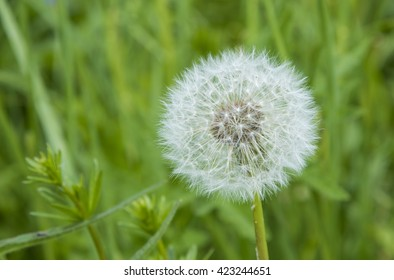 Blooming dandelion, summer field flowers, selective focus with shallow depth of field.