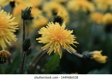 Blooming dandelions in the afternoon on a summer meadow