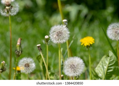 blooming dandelions and blowballs in the grass