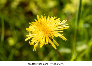 Blooming dandelions in the evening light