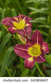 Blooming Daylily «Night Beacon» of flower beds in the summer garden.