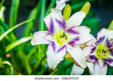 Blooming day-lily flowers on the garden. Shallow depth of field.