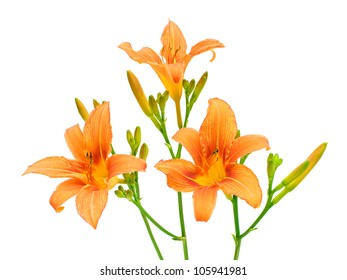 Blooming day-lily isolated on white close-up