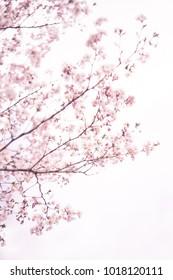 Blooming days in a park, sakura