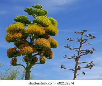 Blooming and dead century plant (agave americana, American aloe, maguey)