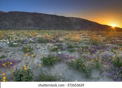 Blooming Desert near Anza Borrego Springs, California.